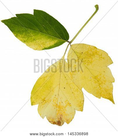 Autumn Siberian colorful maple pressed leaves on a white background