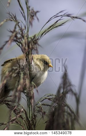 Juvenile male Bearded Tit also known as a Bearded Reedling peers from behind foliage. The sharp image of he bird stands out from soft foliage.