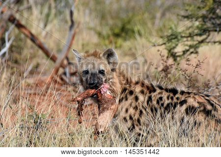 Picture of a spotted hyena holding its prey. picture is taken in Madikwe game reserve, South Africa.