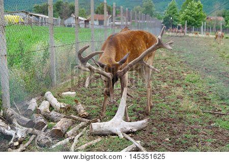 Deer. Deer in captivity. Wild animals prisoners.