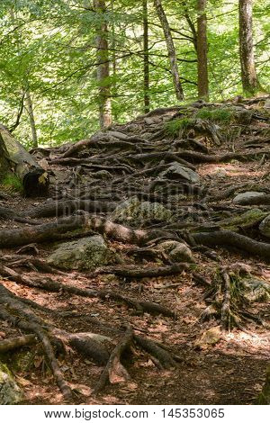 Numerous tree roots at the surface give the trees stop