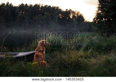 Dog Nova Scotia Duck Tolling Retriever sitting on the shore of the lake summer night