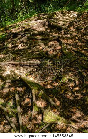 Root system of tree roots at the surface