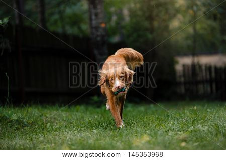 Dog Nova Scotia Duck Tolling Retriever Running Around The Garden