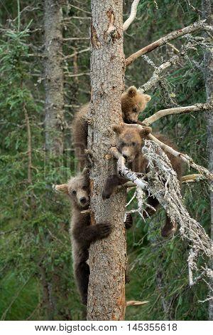Three Alaskan Brown Bear Cubs