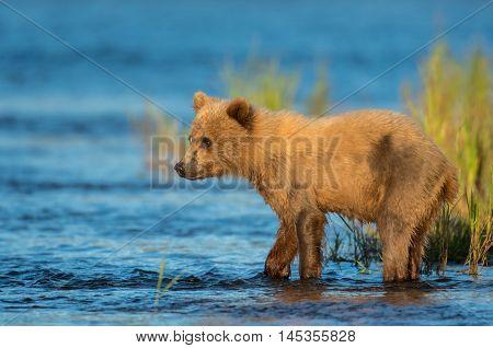 Alaskan Brown Bear Cub