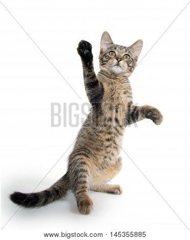 Cute Tabby Kitten On Hind Legs