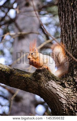 The squirrel on a tree gnaws a nut