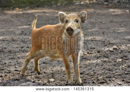 curious young boar looking into camera in the wild