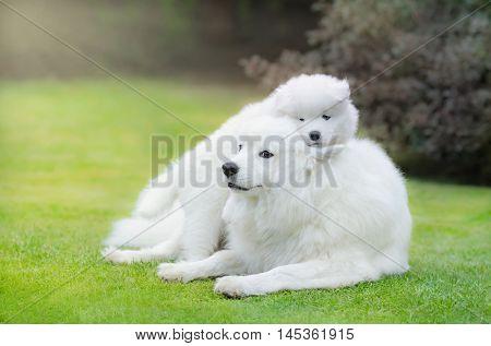 Samoyed dog with puppy of Samoyed dog lying on grass