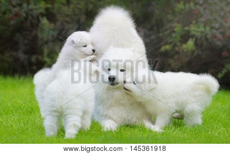 Female Samoyed dog with puppies playful on grass