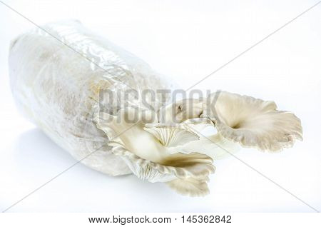 Oyster Mushrooms On White