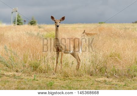Whitetail doe (odocoileus virginianus) alert, yet unsure of what the danger might be