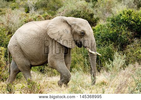 Lonely Lonly African Bush Elephant Looking For Water