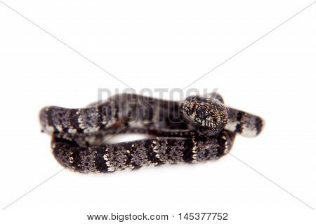 Clouded snake, Sibon nebulatus, isolated on white background