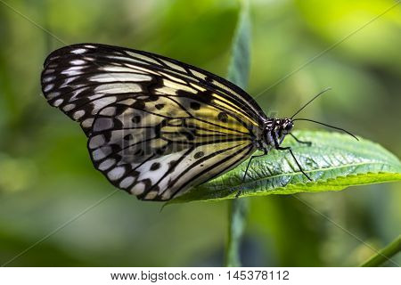 Tropical Butterfly Large Tree Nymph Exotic Impression