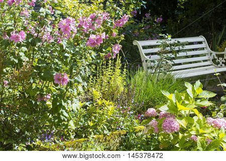 . White old bench and pink Alcea rosea flowers