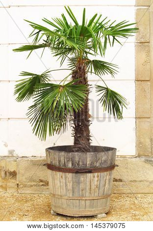 palm with green leaves in the wooden flowerpot