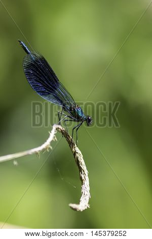 Beautiful male Banded Demoiselle( Calopteryx splendens) belonging to the family Calopterygidae. Isolated against a blurred green background that perfectly compliments the stunning metallic blue of the body and lacy wing. Shown in profile.