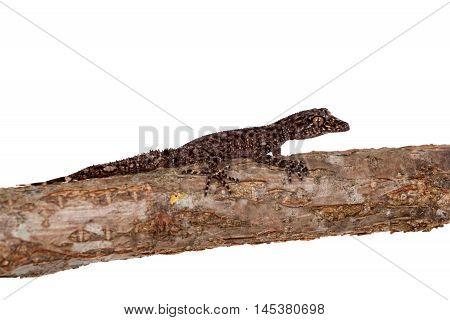Australian leaf-tailed geckos, Phyllurus amnicola, , isolated on white background