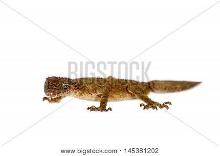 Southern leaf-tailed gecko, Saltuarius swaini, isolated on white background