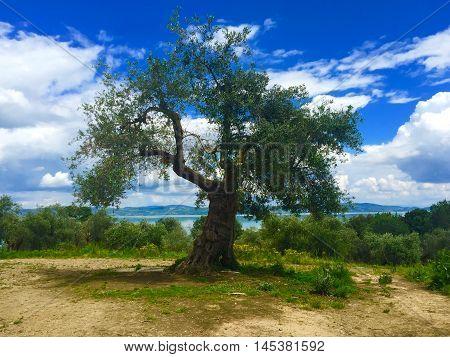 Lone olive tree on Isola Maggiore, Lake Trasimeno, Umbria central Italy