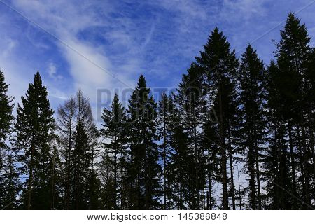 a picture of an exterior Pacific Northwest forest of Douglas fir trees with blue sky and cirrus clouds