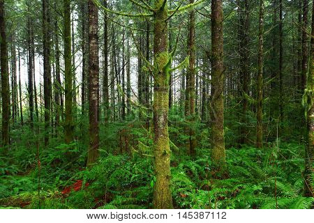 a picture of an exterior Pacific Northwest rainforest of mossy Douglas fir trees