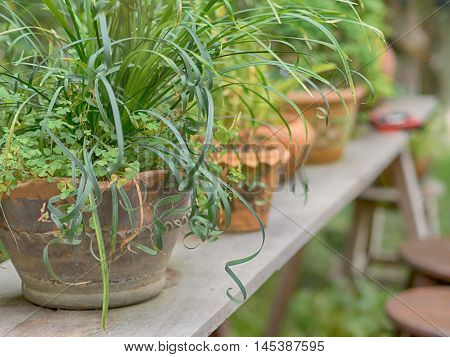 fern in clay pots on Wooden table, in the garden. Selective focus.