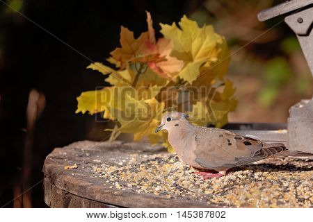 Mourning dove at a feeding table with fall foliage in background