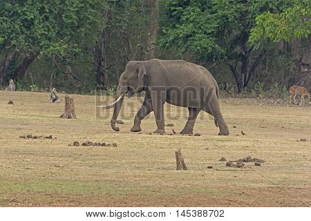 Large Male Elephant along the Kabini River in Nagarhole National Park in India