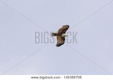 Eurasian Marsh Harrier in Flight over the Kabini River in India