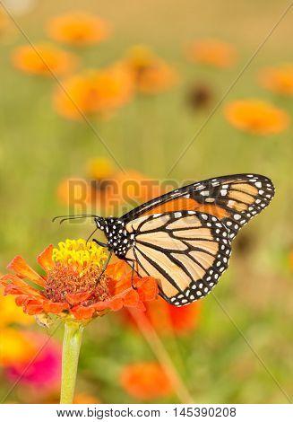 Beautiful Monarch butterfly getting nectar from an orange Zinnia flower in summer garden