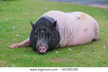 The big lazy pig lying on lawn.