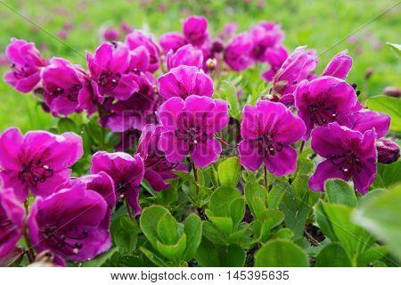 Flora of Kamchatka: beautiful flowering Rhododendron camtschaticum. Kamchatka Region Far East Russian Federation Eurasia.