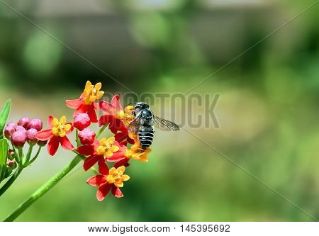 Leaf cutter Bee Megachile rotundata collects pollen from Red and Yellow Milkweed. Blurred background Landscape