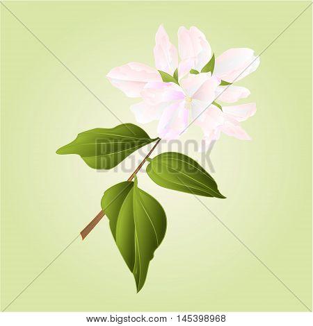 Philadelphus white flower false jasmine vector illustration