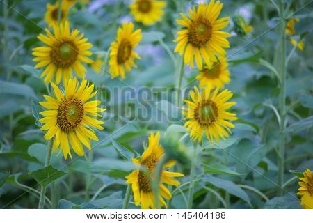 Beautiful sunflowers blooming in the garden  , Low key lighting Nature background ,Focus sharp specific point
