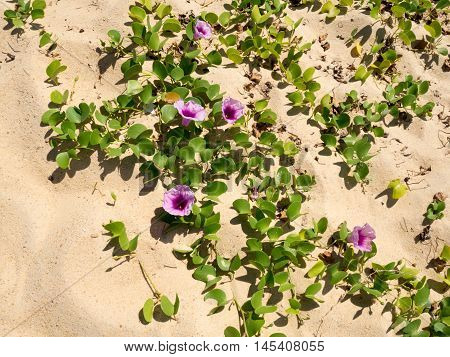Goat-foot Vine Beach Morning Glory Seaside Morning Glory (Scientific Name: Ipomoea Pes-caprae). Purple violet flower plant on tropical sand beach.