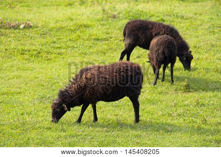 three dark brown fluffy sheep pasturing on the green meadow