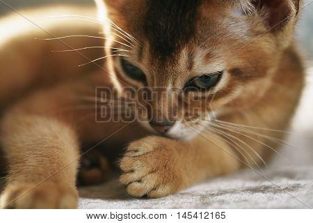 Purebred sleepy abyssinian kitten resting, closeup portrait