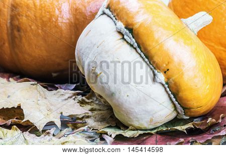 ripe pumpkins in autumn maple leaves decorate