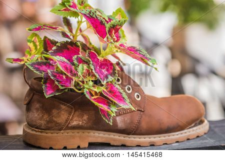 Fresh colorful plants growing in an old tattered brown shoe