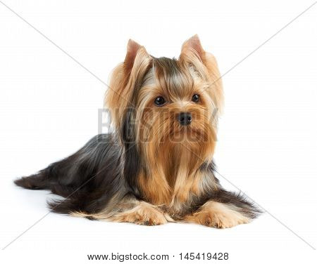 Beautiful Yorkshire Terrier with perfectly groomed long hair isolated on white