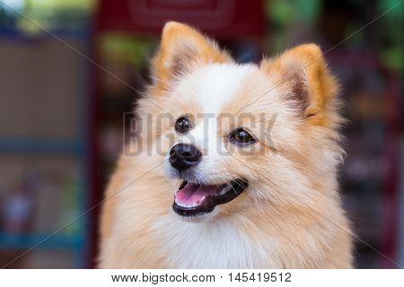 Pomeranian Chihuahua mix dog with brown Sarawasi standing looking forward.