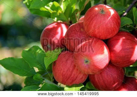 Bunch of bright red apples on branches of tree, ready to pluck and sell at market.
