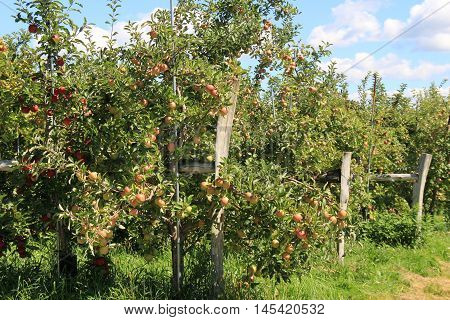 Old, gray fencing with apple trees out in the middle of the orchard