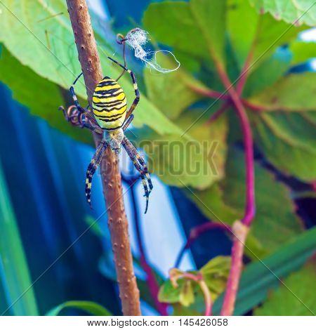 The Yellow Striped Venomous Wasp Spider (argiope Bruennichi)