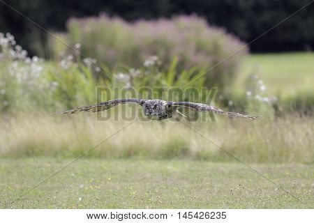 Eurasian eagle owl (bubo bubo) also known as Eurpopean Eagle owl flying low over a field. Aesthetic provided by the blurred background of coloured vegetation. The eagle-owl is from the higher classification of horned owls and is one of the largest species