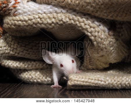 The Mouse Sits In The Closet. Rodent Lived In The House